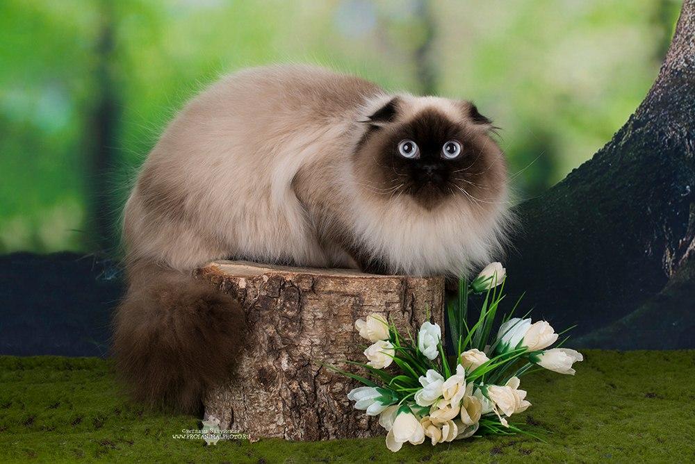 Шотландская кошка // Airis Princess Latti's