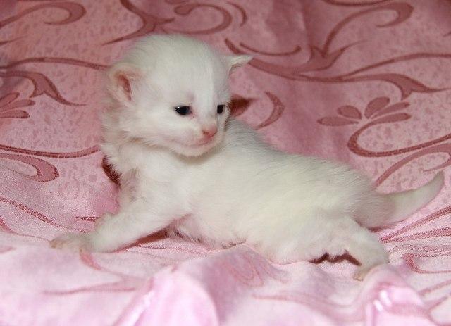Котенок Мейн кун Викинг | кот, окрас — белый солид ( w 62 ) (помет V)