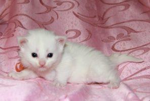 Котенок Мейн кун Виола | кошка, окрас — белый солид ( w 62 ) (помет V)