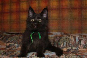 Что важно знать о котятах Мейн Кунов