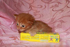 Котенок Мейн кун Виконт | кот, окрас — красный тигровый ( d 23 ) (помет V)