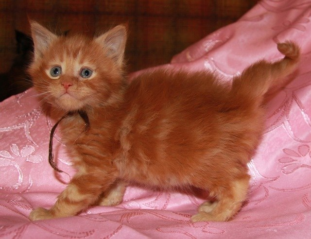 Котенок Мейн кун Гастон, кот, Окрас: красный мраморный (d 22) (помет G)