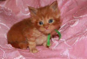 Котенок Мейн кун Гамлет, кот, Окрас: красный мраморный (d 22) (помет G)
