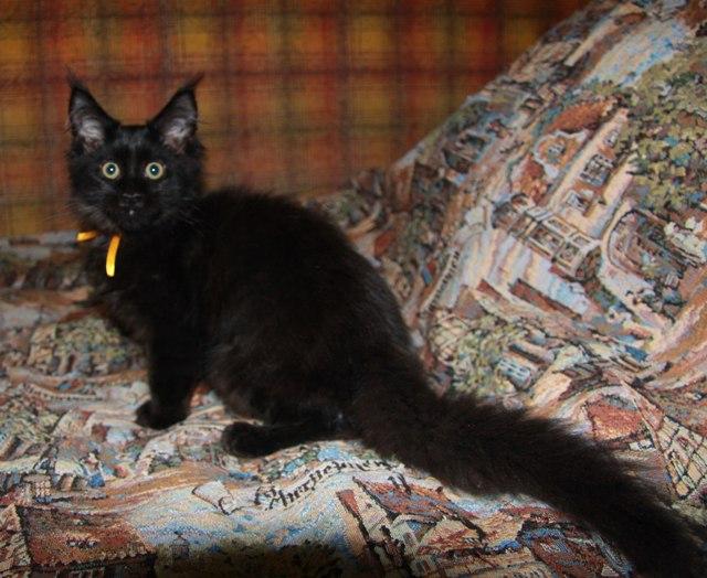 Котенок Мэйн кун Багира | кошка, окрас: черный солид ( n ) (помет B)