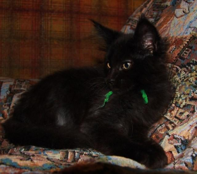 Котенок Мейн кун Брюс | кот, окрас: черный солид ( n) (помет B)