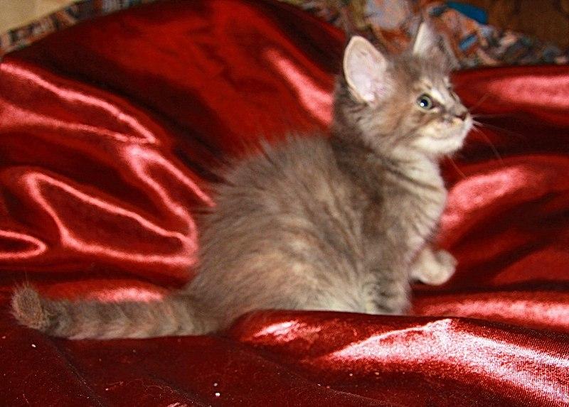 Котенок мейн-кун // Wild Power Afina (помет А)