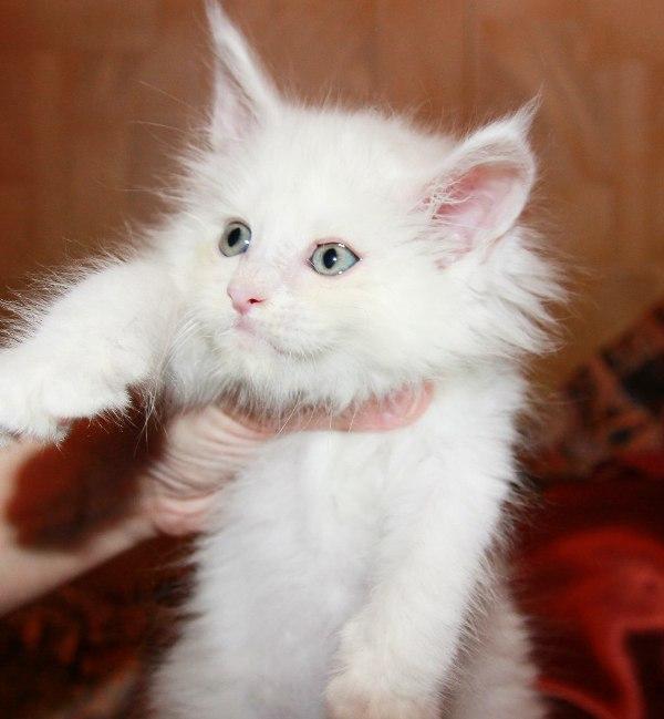 Какова стоимость породистого котенка Мейн-кун?