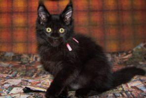 Котенок Мэйн кун Барселон   кот, окрас: черный солид ( n)