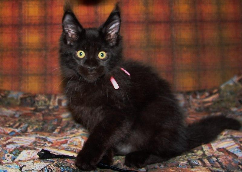 Котенок Мэйн кун Барселон | кот, окрас: черный солид ( n)