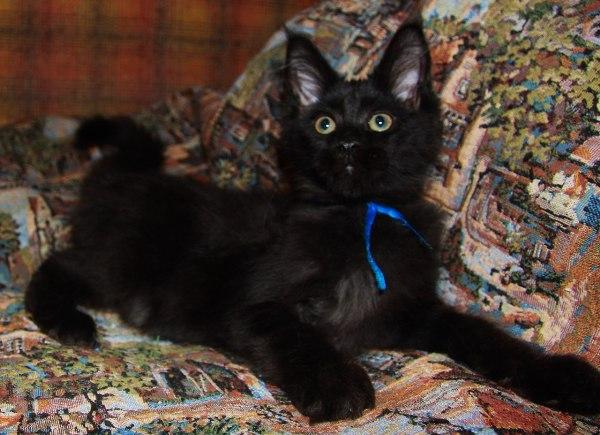 Котенок Мейн кун Брэдфорд |  кот, окрас:  черный солид ( n) (помет B)