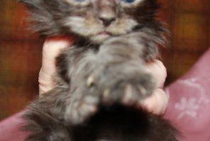 Котенок Мейн кун Диана, кошка, Окрас: чёрный дым ( ns) (помет D)