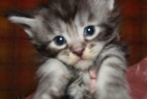 Котенок Мейн кун Дорина, кошка, Окрас: чёрный мрамор на серебре ( ns 22 ) (помет D)