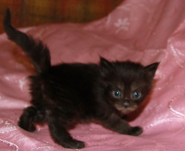 Котенок Мейн кун Джулиус , кот, Окрас: чёрный солид ( n ) (помет D)