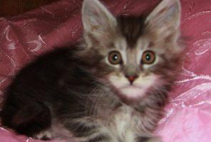 Котенок Мейн кун Доминик , кот, Окрас: чёрный мрамор на серебре ( ns 22 ) (помет D)