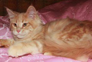 Котенок Мейн кун Вальтер | кот, окрас — кремовый мраморный ( e 22 ) (помет V)