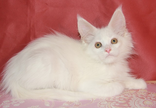 Котенок Мейн кун Елисей , кот, окрас — белый солид ( w )  (помет E)