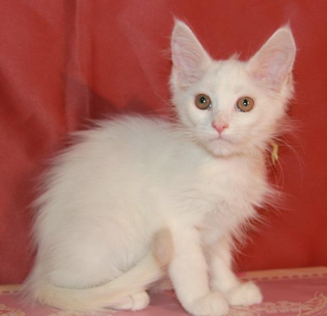 Котенок Мейн кун Еста, кошка, окрас — белый солид ( w ) (помет E)