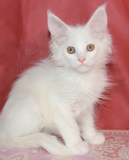Котенок Мейн кун Евсея , кошка , окрас — белый солид ( w ) (помет E)