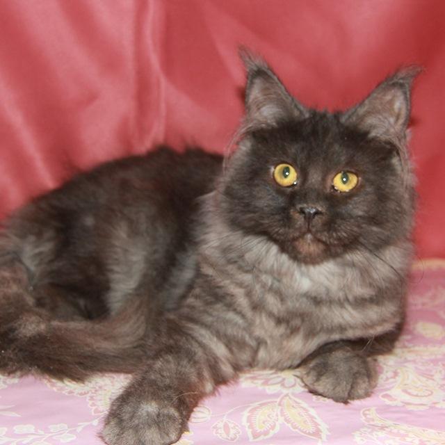 Котенок Мейн кун Дасти, кошка, Окрас: чёрный дым ( ns)  (помет D)