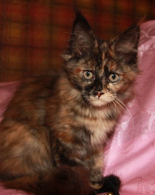 Котенок Мейн кун Грета, кошка, окрас: черная солидная черепаха ( f ) (помет G)
