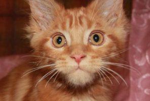 Котенок Мейн кун Гордон, кот, Окрас: красный мраморный (d 22)  (помет G)