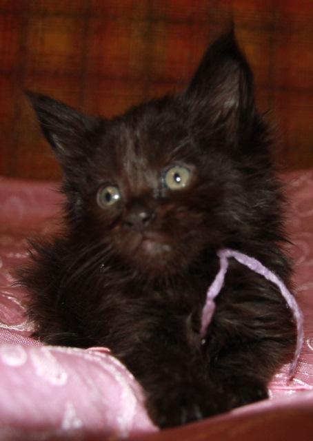 Котенок Мейн кун  Жюстен  , кот, окрас — черный солид ( n ) (помет J)