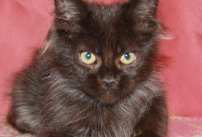 Котенок Мейн кун  Жозеф , кот, окрас — черный солид ( n ) (помет J)