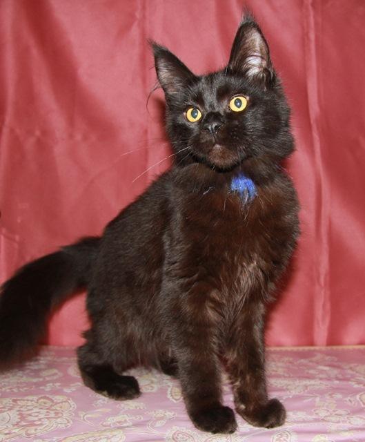 Котенок Мейн кун  Жак , кот, окрас — черный солид ( n ) (помет J)
