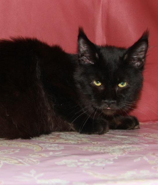 Котенок Мейн кун  Жан , кот, окрас — черный солид ( n ) (помет J)