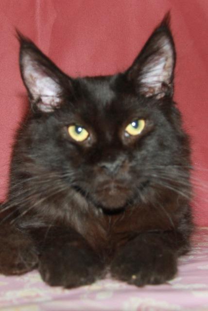 Котенок Мейн кун  Жерар , кот, окрас — черный солид ( n ) (помет J)