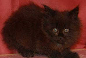 Котенок Мейн кун Фиона , кошка, окрас — черный солид ( n ) (помет F)