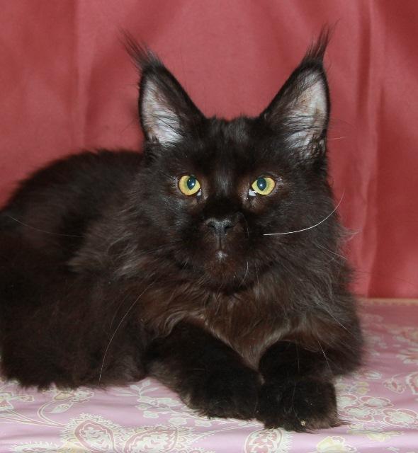 Котенок Мейн кун  Жарден , кот, окрас — черный солид ( n ) (помет J)