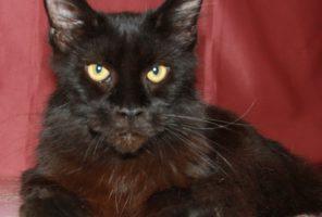 Котенок Мейн кун  Жульен , кот, окрас — черный солид ( n ) (помет J)