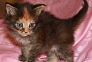 Котенок Мейн кун Вита   кошка, окрас — черная тигровая черепаха ( f 23 ) (помет V)