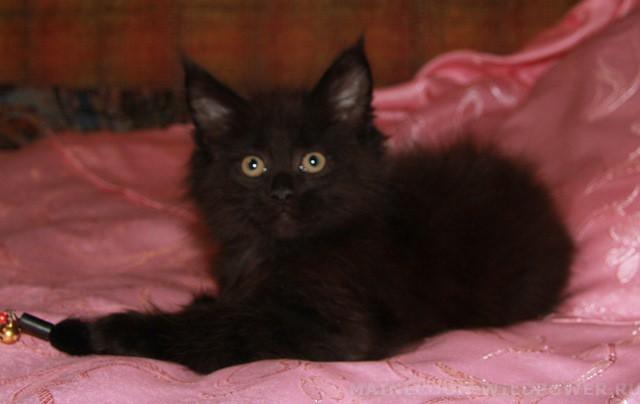 Котенок Мейн кун Витцель | кот, окрас — черный солид ( n ) (помет V)