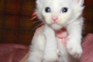 Котенок Мейн кун Ена, кошка , окрас — белый солид ( w )  (помет E)