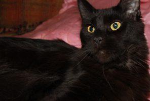 Котенок Мейн кун Белла | кошка, окрас черный солид ( n) (помет B)