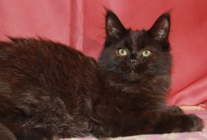 Котенок Мейн кун  Жозе , кот, окрас — черный солид ( n ) (помет J)