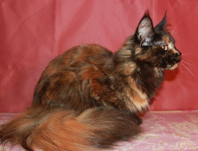 Котенок Мейн кун Гресси, кошка, окрас: черная солидная черепаха( f ) (помет G)