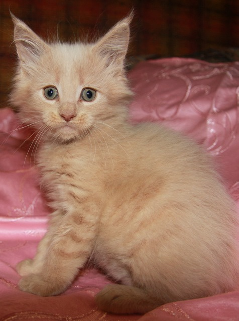 Котенок Мейн кун  Зевс, кот, окрас — кремовый ( e ) (помет Z)