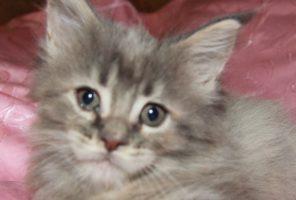 Котенок Мейн кун Зена , кошка, окрас — голубой с рисунком ( a 21 ) (помет Z)