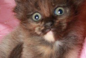 Котенок Мейн кун Зара , кошка, окрас — черная  дымная черепаха ( fs ) (помет Z)