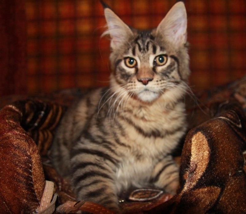 Котенок Мейн-Кун Арнольд   Окрас: черный тигровый ( n 23) (помет А)
