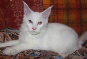 Котенок Мейн-Кун Атос | Окрас: белый солид (w) (помет А)