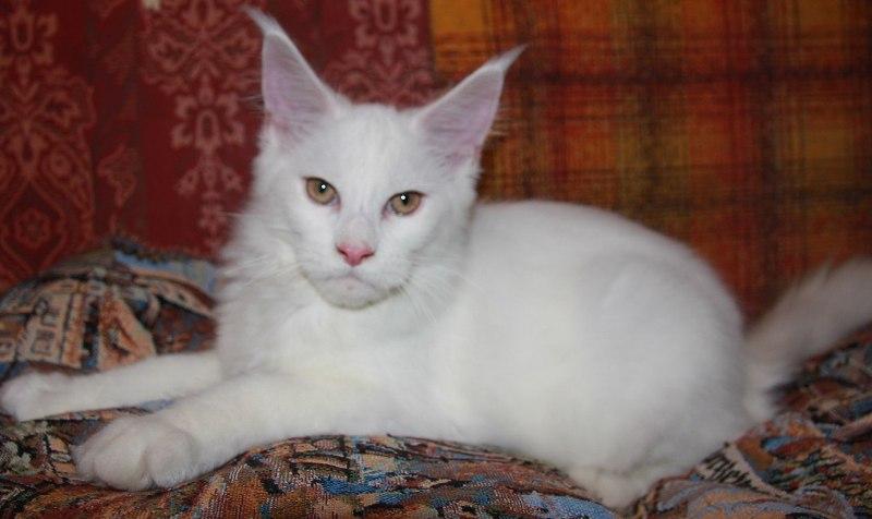 Котенок Мейн-Кун Атос   Окрас: белый солид (w) (помет А)