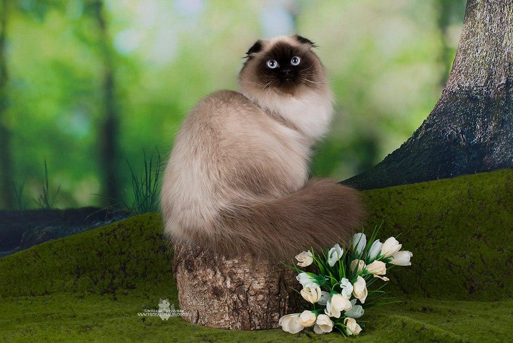 шотландская кошка сиамская
