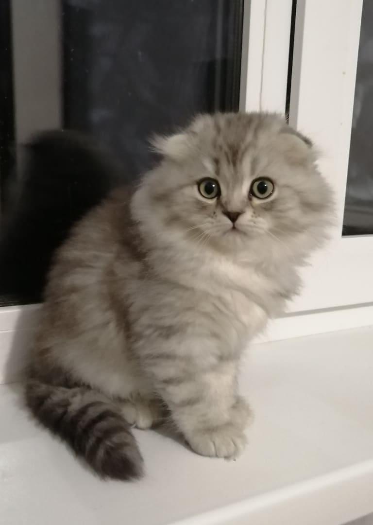 Хакер // Котенок Шотландской кошки хайленд фолд (помет H)