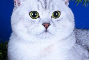 Шотландские кошки // производители помета H