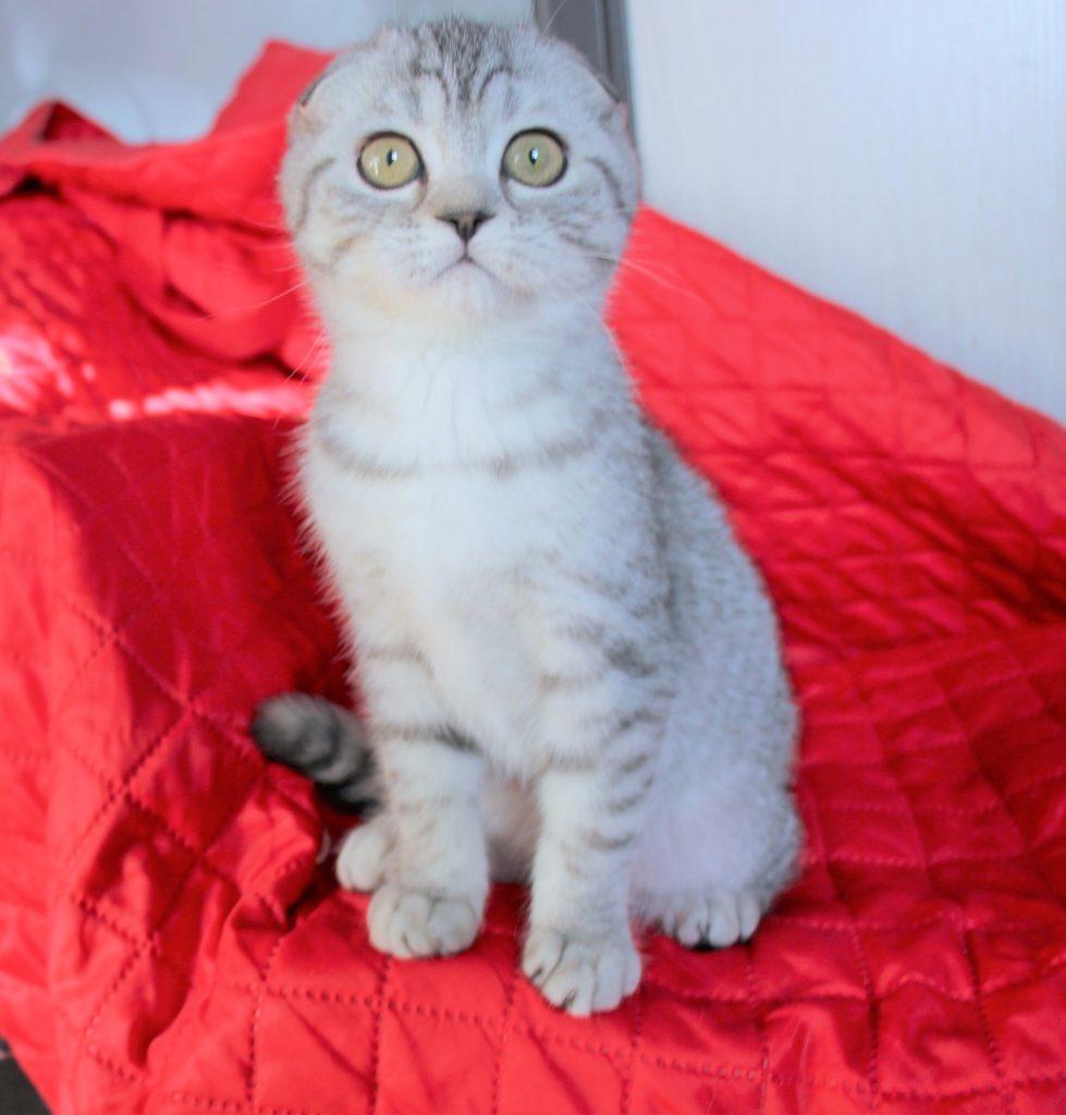 Шотландская кошка скоттиш фолд