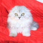Шотландская кошка хайленд фолд